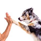Il cane dà la zampa all'essere umano Immagine Stock Libera da Diritti