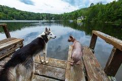 Il cane d'Alasca del husky sta raffreddando sul bacino con un gatto dello sphynx immagini stock