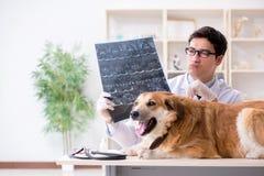 Il cane d'esame di golden retriever di medico nella clinica del veterinario fotografie stock libere da diritti