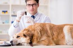 Il cane d'esame di golden retriever di medico nella clinica del veterinario immagine stock