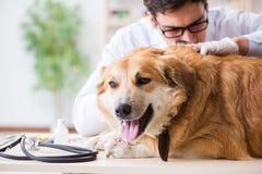 Il cane d'esame di golden retriever di medico nella clinica del veterinario fotografia stock libera da diritti