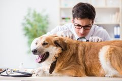 Il cane d'esame di golden retriever di medico nella clinica del veterinario immagine stock libera da diritti