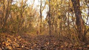 Il cane da caccia funziona lungo la traccia nella foresta di autunno, il cane persegue la preda stock footage