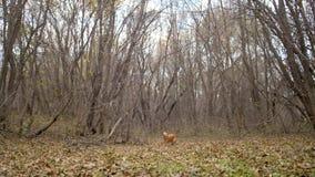 Il cane da caccia funziona sulle foglie asciutte nella foresta di autunno video d archivio