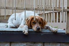 Il cane da caccia rosso luminoso dello spaniel di lingua gallese Springer si trova sulla terra Immagine Stock