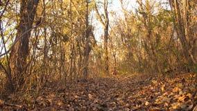 Il cane da caccia sta cercando l'orma nel movimento lento della foresta di autunno video d archivio