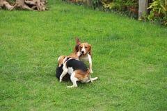 Il cane da lepre felice insegue il gioco nel prato inglese con gli amici Fotografia Stock