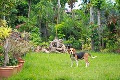 Il cane da lepre felice insegue il gioco nel prato inglese con gli amici Fotografia Stock Libera da Diritti