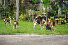 Il cane da lepre felice insegue il gioco nel prato inglese con gli amici Fotografie Stock Libere da Diritti