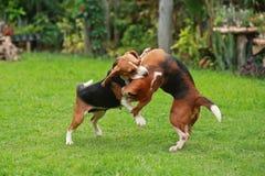 Il cane da lepre felice insegue il gioco nel prato inglese con gli amici Immagine Stock Libera da Diritti