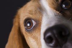 Il cane da lepre osserva la macro Fotografia Stock Libera da Diritti