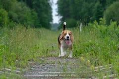 Il cane da lepre per una passeggiata sulla ferrovia della foresta Immagine Stock Libera da Diritti