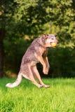 Il cane da pastore australiano salta per prendere una palla fotografia stock