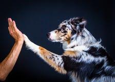Il cane da pastore australiano sveglio dà la zampa Fotografia Stock