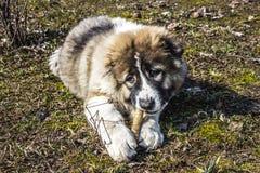 Il cane da pastore caucasico lanuginoso sta trovandosi sulla terra e sta rosicchiando il bastone Fotografia Stock Libera da Diritti