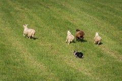 Il cane da pastore esegue il gruppo di ovis aries delle pecore fuori nel campo Fotografia Stock