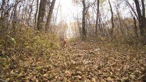 Il cane dai capelli rossi funziona lungo fogliame in un parco di autunno archivi video