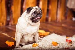 Il cane del carlino del Fawn si siede sulle pellicce ai precedenti dei bordi di legno Fotografie Stock Libere da Diritti