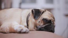 Il cane del carlino dorme sullo strato con una zampa bendata archivi video