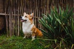 Il cane del Corgi da Bush Fotografia Stock