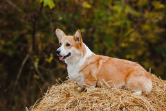 Il cane del Corgi sul mucchio di fieno Fotografie Stock Libere da Diritti