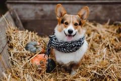 Il cane del Corgi sul mucchio di fieno Fotografie Stock