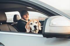 Il cane del cane da lepre di Fanny guarda fuori la finestra del fron quando viaggio con il suo owne immagine stock