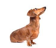 Il cane del Dachshund osserva in su Fotografie Stock