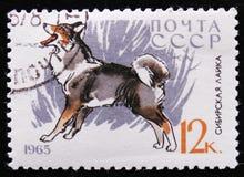 Il cane del ` di Laika del ` del husky siberiano, serie insegue le razze, circa 1965 Fotografia Stock