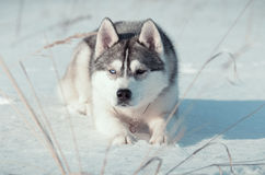 Il cane del husky siberiano mette sul thesnow Fotografia Stock