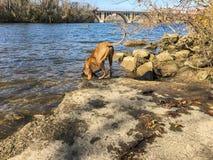 il cane del pugile beve da una corrente nel legno Fotografia Stock Libera da Diritti