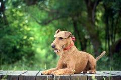 Il cane del terrier irlandese si trova sul ponte di legno Fotografia Stock