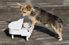 Il cane della chihuahua dei maestri sta giocando sul piano immagini stock libere da diritti