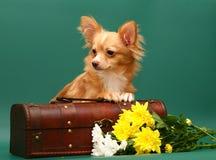Il cane della chihuahua della razza è in un circuito di collegamento. Fotografia Stock Libera da Diritti