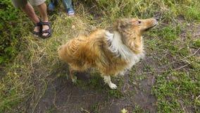 Il cane delle collie scuote l'acqua sulla costa vicino al fiume video d archivio
