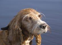 Il cane dello spaniel Fotografie Stock