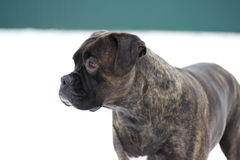 Il cane di animale domestico all'aperto nel briciolo della neve ha preoccupato il fronte Fotografia Stock