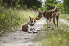 Il cane di Basenji cammina nel parco Immagine Stock Libera da Diritti