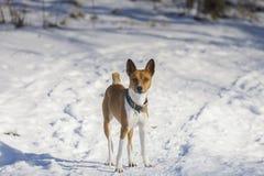 Il cane di Basenji cammina nel parco Fotografia Stock