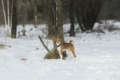 Il cane di Basenji cammina nel parco Fotografie Stock Libere da Diritti