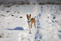 Il cane di Basenji cammina nel parco Fotografia Stock Libera da Diritti