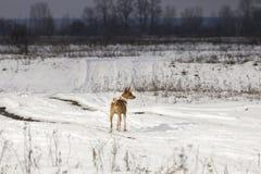 Il cane di Basenji cammina nel parco Fotografie Stock
