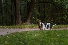 Il cane di Basset Hound cammina sul percorso fotografia stock libera da diritti