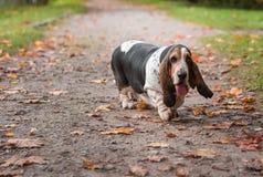 Il cane di Basset Hound cammina sul percorso Ritratto fotografia stock libera da diritti