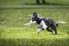 Il cane di border collie di frisbee salta con il disco fotografia stock