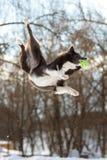 Il cane di border collie salta con la palla verde fotografia stock
