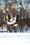 Il cane di border collie salta con la palla verde immagine stock
