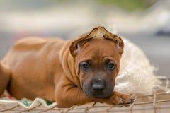 Il cane di Brown si siede per prendere le fotografie, Fotografia Stock