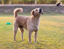 Il cane di Brown stava scortecciando Fotografia Stock
