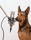 Il cane di canto con gli occhi si è chiuso Immagine Stock